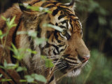 A Sumatran Tiger in the Asian Domain Exhibit Photographic Print by Michael Nichols
