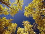 View Straight up at the Sky Through a Golden Canopy of Aspen Trees Photographic Print by George F. Mobley
