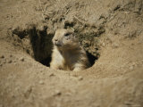 A Prairie Dog Pops out of His Burrow to Check out the World Photographic Print by Stephen St. John