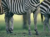 Lower Half of a Standing Grants Zebra Photographic Print by Joel Sartore