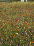 Flowering Field in Algeria Photographic Print by Thomas J. Abercrombie