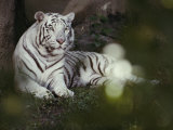 A Rare White Tiger at the Cincinnati Zoo Photographic Print by Michael Nichols