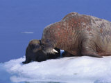 An Atlantic Walrus Smells Her Young Pup Photographic Print by Paul Nicklen