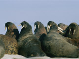 Atlantic Walruses Often Gather Together on Ice Floes for Protection in Numbers Photographic Print by Norbert Rosing