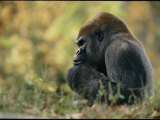A Gorilla at Zoo Atlanta Photographic Print by Michael Nichols