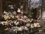Flower Vendor in France Photographic Print by Maynard Owen Williams