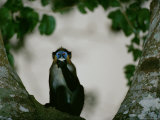 A Moustached Guenon Monkey (Cercopithecus Cephus) Sitting in a Tree, Eating Photographic Print