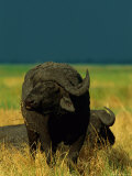 A Cape Buffalo Chews its Cud Photographic Print by Beverly Joubert
