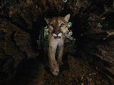 A Hissing Cougar Prowls its Cage Photographic Print by Michael Nichols