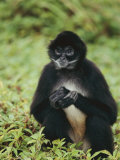 A Black-Handed Spider Monkey Photographic Print by Roy Toft