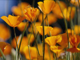 California Poppies Photographic Print by Marc Moritsch