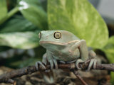 A Captive Waxy Monkey Tree Frog is Perched on a Small Branch Photographic Print