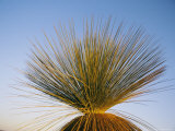 A View of a Xanthorrhoea Species Native to Western Australia Photographic Print by Bill Ellzey