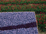 A Bed of Blue Hyancinths Shot against a Background of Red Tulip Fields Photographic Print by Sisse Brimberg