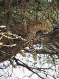 A Leopard Relaxes on a Tree Branch Photographic Print by Roy Toft