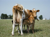 A Mother Cow Feeds Her Two Young Calfs Photographic Print by Stephen St. John
