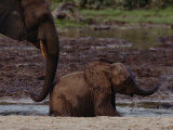 African Forest Elephant Mother and Baby Photographic Print by Michael Nichols