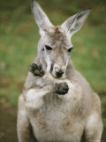 A Close View of a Wallabi at the Sydney Zoo Photographic Print by Bill Ellzey