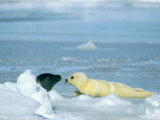 A Newborn Harp Seal Pup in Yellowcoat Sniffs Another Grown Harp Seal Photographic Print
