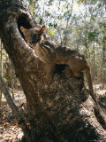 A Fossa Stands on a Tree Trunk Photographic Print by Roy Toft