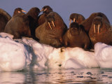 Atlantic Walruses Rest on an Ice Patch Photographic Print by Paul Nicklen