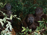 Three Western Lowland Gorillas Sit in the Jungle Photographic Print