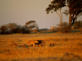 Lionesses and Their Cubs Make a Joyful Sight as They Gambol Across the Golden Savannah Photographic Print