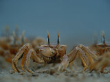 A Herd of Ghost Crabs (Ocypode Albicans) Foraging in the Sand Photographic Print by Michael Nichols