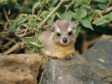 A Rock Hyrax Sits on Rock Photographic Print by Roy Toft