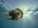 A Papuan Jellyfish Swims in the Ocean Photographic Print by Bill Curtsinger