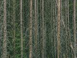 Lodgepole Pine Tree Trunks Photographic Print by David Boyer