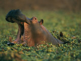 Hippopotamus Yawning Among Water Plants Photographic Print