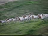 Arabian Oryxes at San Diego Wild Animal Park Photographic Print by Michael Nichols