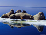 A Group of Atlantic Walruses Bask in the Sun Photographic Print by Paul Nicklen