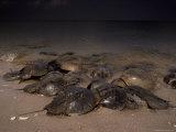 Horseshoe Crabs on Pacific Coast Beach Photographic Print