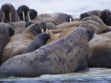 A Group of Atlantic Walruses Bask on the Drifting Ice Photographic Print