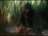 A Baby Orphan Gorilla Plays in the Water Photographic Print