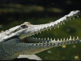Close View of a Freshwater Crocodile with its Mouth Agape Photographic Print by Nicole Duplaix
