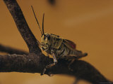 Close View of a Grasshopper Photographic Print