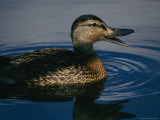A Duck Swims in the Marshes of the Meadowlands Photographic Print by Melissa Farlow