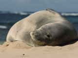 A Hawaiian Monk Seal Lays in the Sand on a Beach Photographic Print by Roy Toft