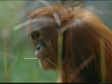 An Orangutan at the National Zoo Photographic Print by Michael Nichols