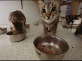 Domestic Cats Feeding at a Nutritional Center Photographic Print