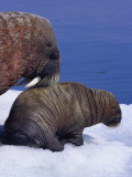 An Atlantic Walrus with its Offspring Photographic Print by Paul Nicklen