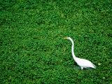 Heron Photographic Print by James P. Blair