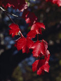 Bright Red Maple Leaves against a Dark Background Photographic Print by Stephen St. John