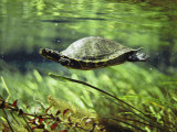 A Freshwater Turtle Swimming Underwater Photographic Print by Bill Curtsinger