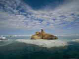 Two Walruses Rest on an Ice Floe Photographic Print