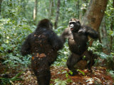 Orphan Lowland Gorillas Compete for Dominance Photographic Print