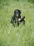 A Young Pygmy Chimpanzee Sits in the Tall Grass Photographic Print by Roy Toft
